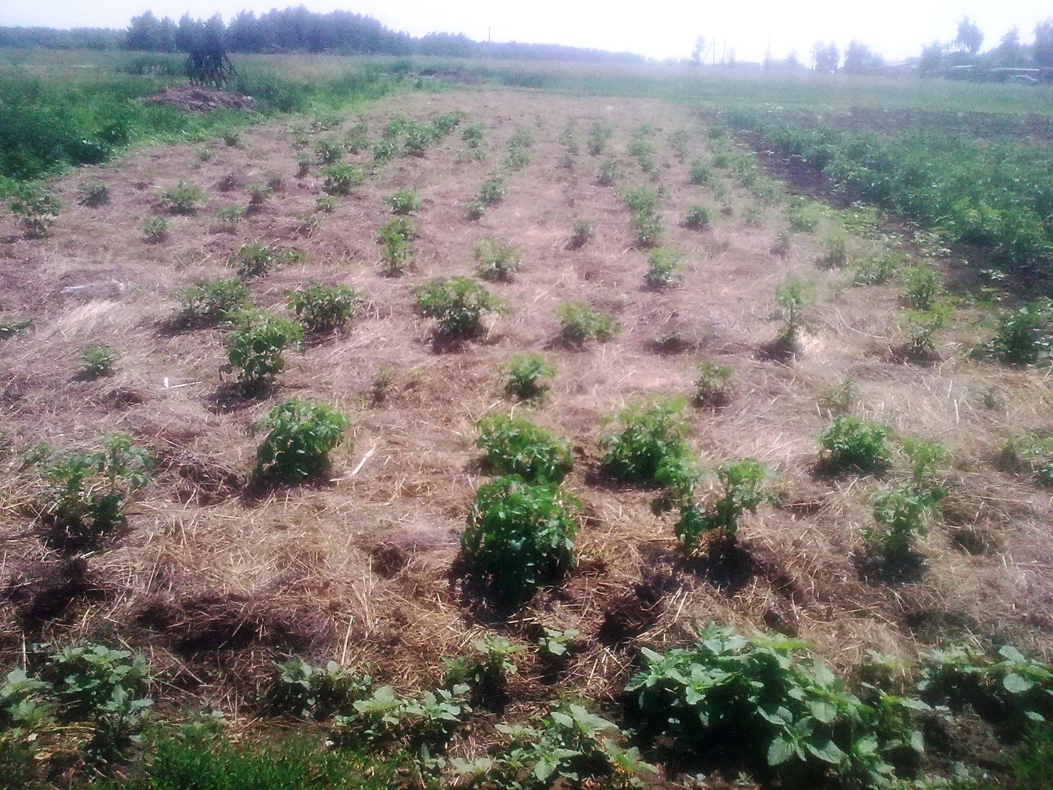 Технология выращивания картофеля под соломой и сеном 12