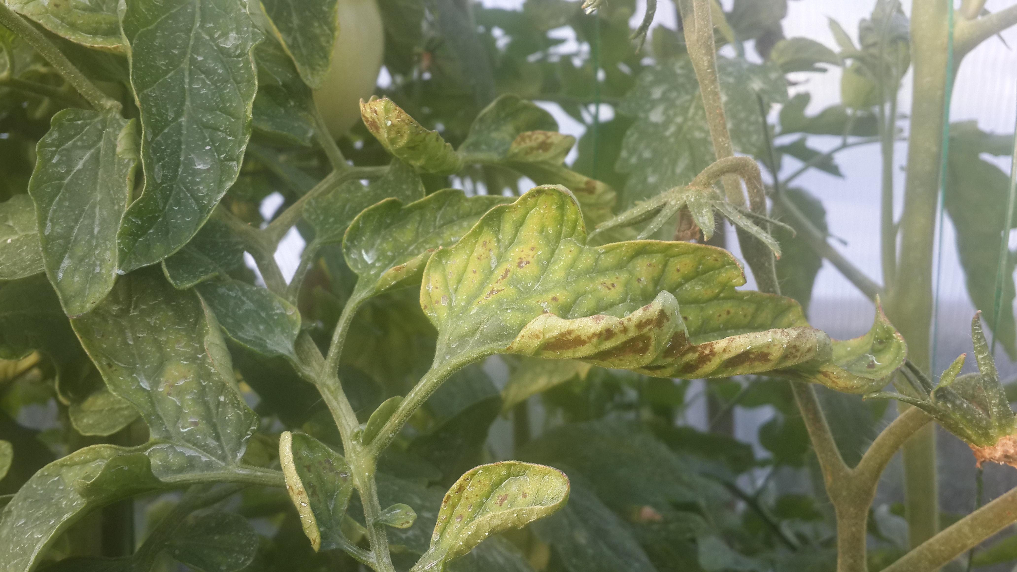 Почему скручиваются листья на помидорах что делать фото