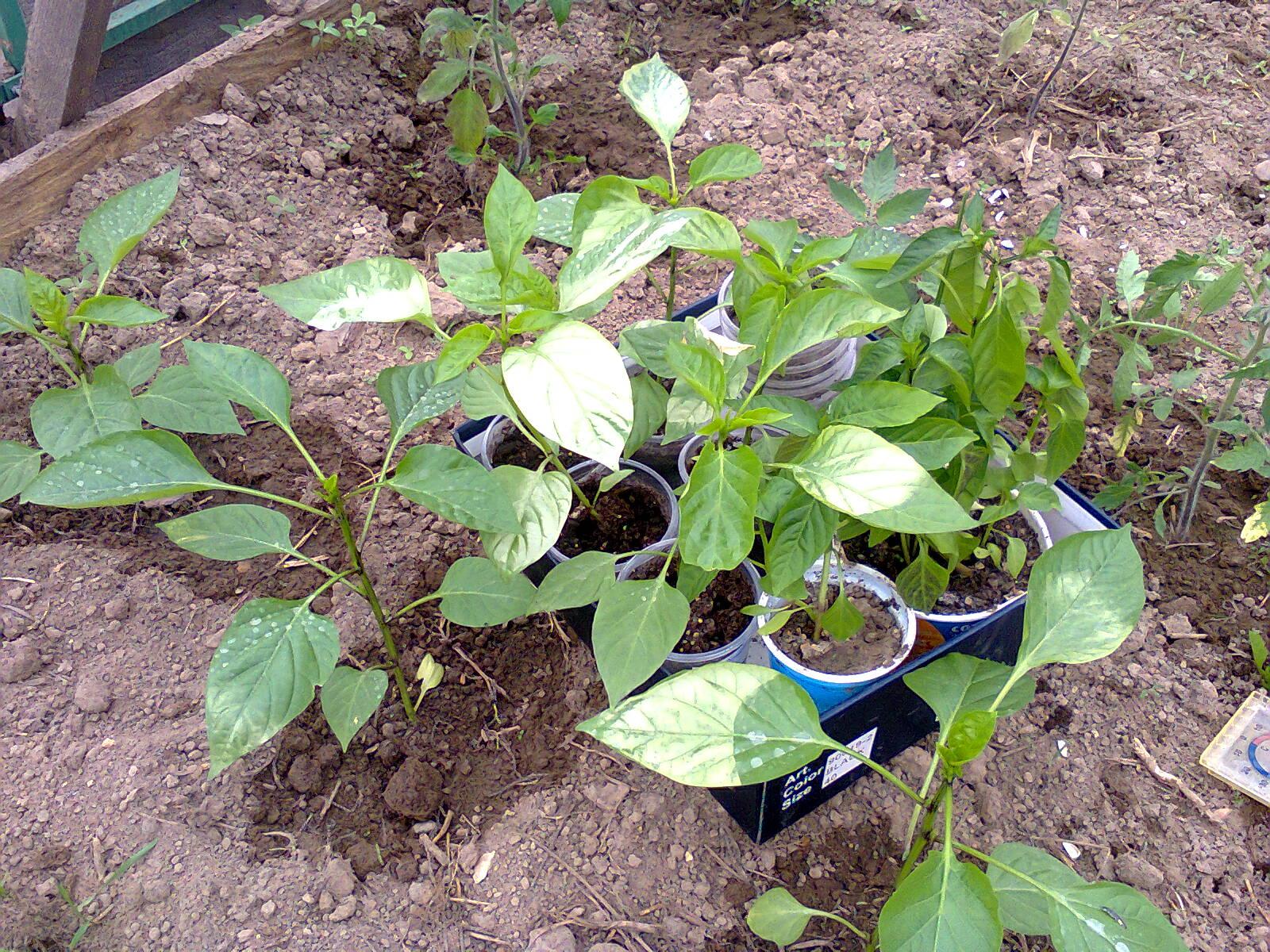 Выращивание баклажан в грунте