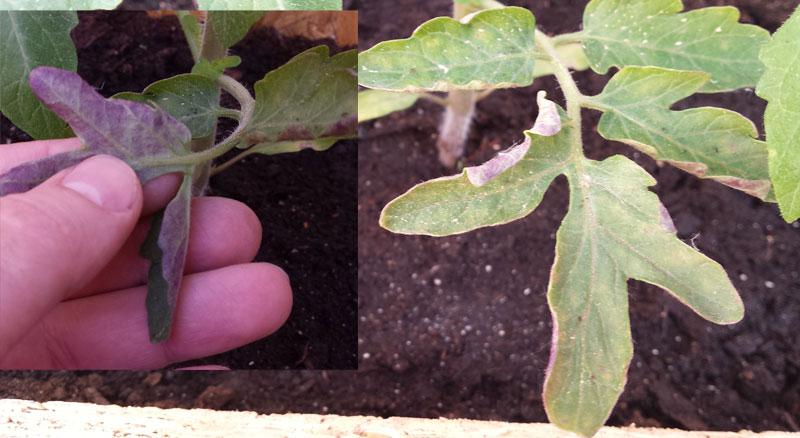 Проблемы с рассадой ЧТО ДЕЛАТЬ, ЕСЛИ : На помидорах скручиваются листья