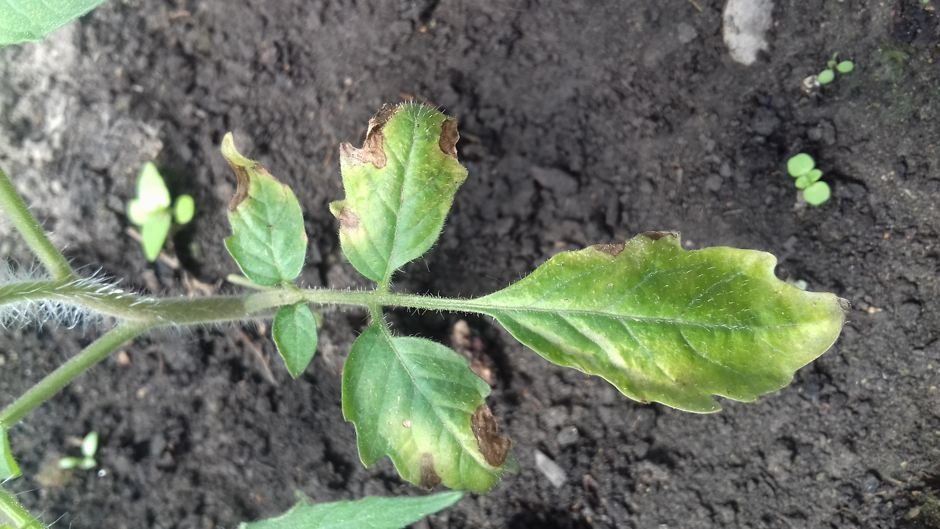 На рассаде помидор скручиваются листья фото