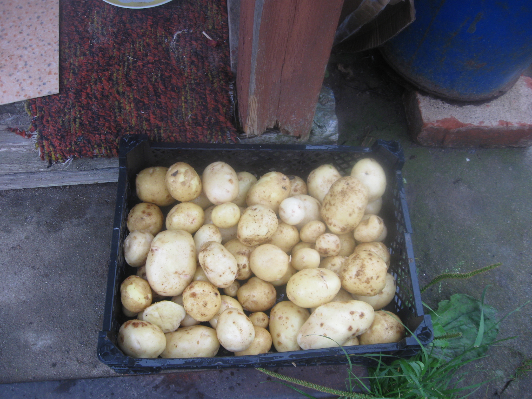 Технология выращивания картофеля под соломой и сеном 58