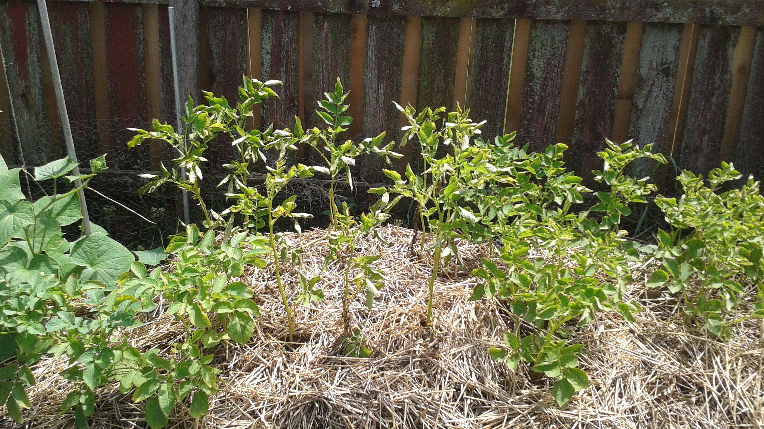 Технология выращивания картофеля под пленкой» 6