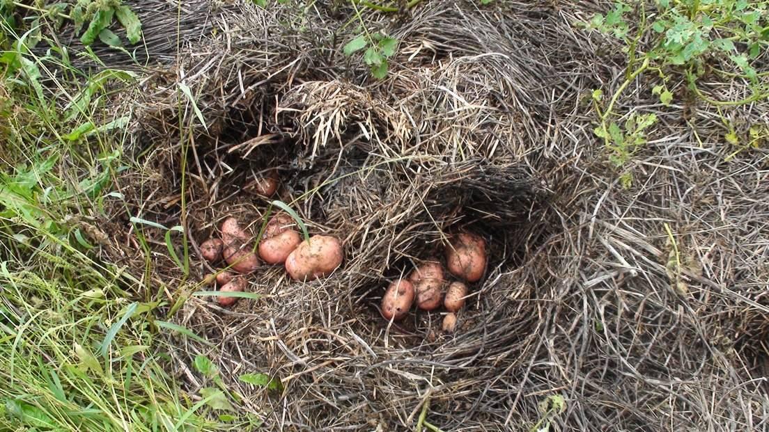 Выращивание картофеля под сеном и соломой 703