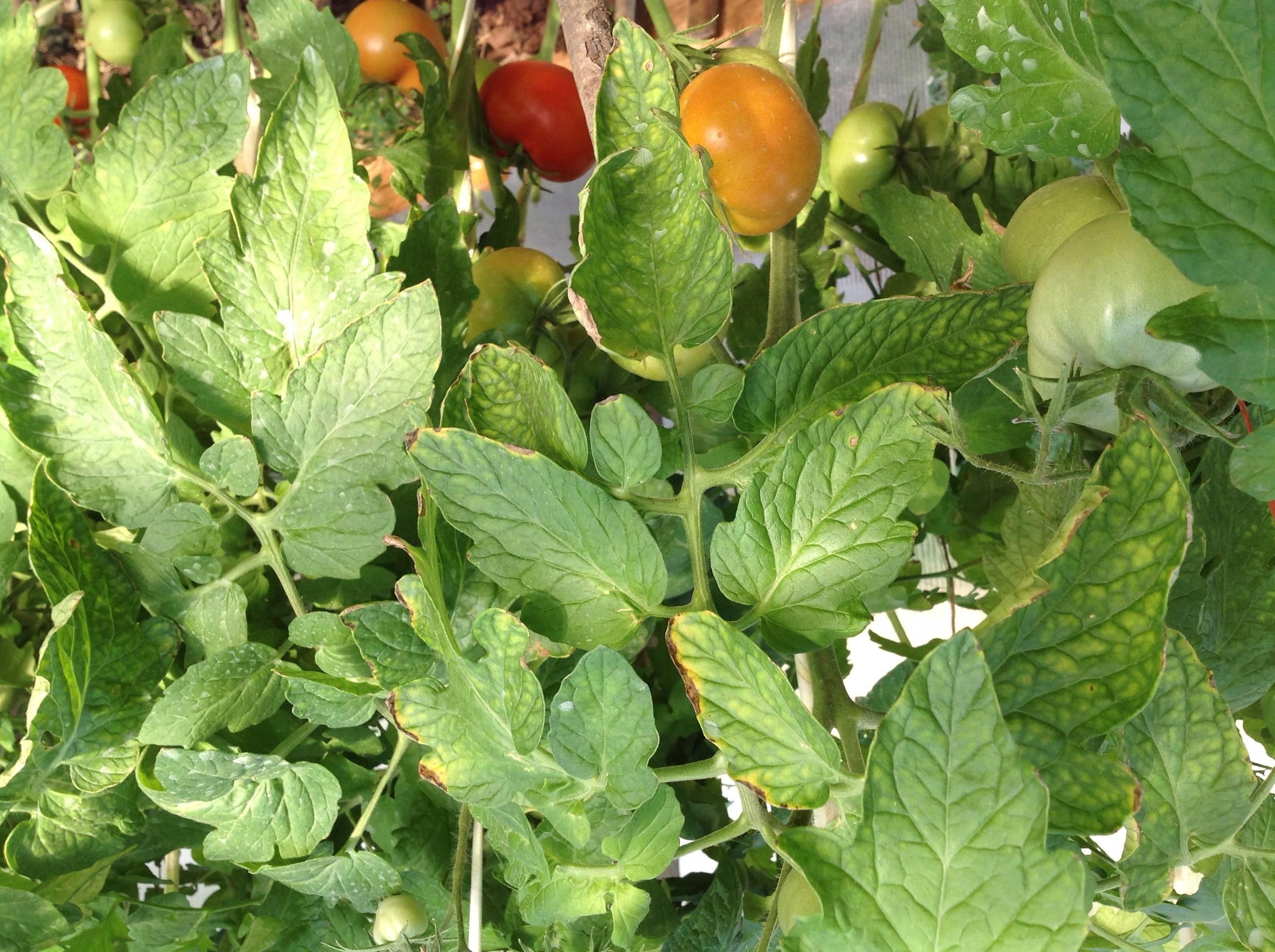 Скручиваются листья у помидоров что делать фото