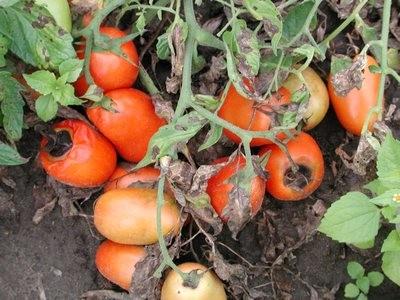 Мокрые гнили плодов помидора