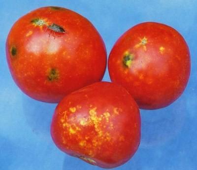 Сухая гниль плодов томата