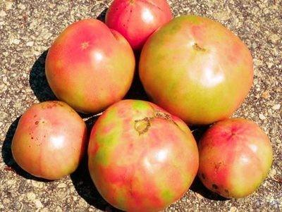Внутреннее побурение плодов томата