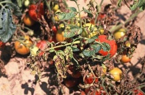 Септориоз или белая пятнистость листьев томата