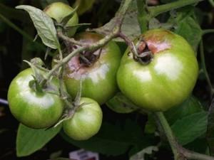 Фомоз (бурая гниль) томатов