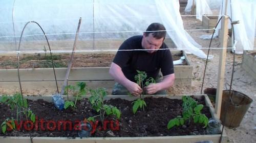 Высаживание томатов в открытый грунт