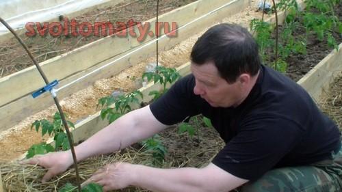 Мульчирование томатов сеном