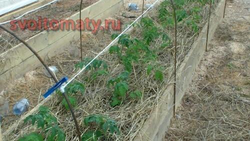 Замульчированные томаты в сене
