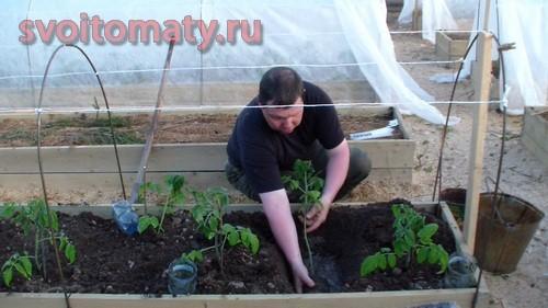 Высаживание томата в траншею