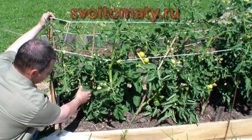 Уход и формировка высокорослых томатов открытого грунта
