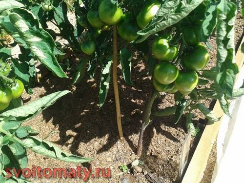 Мульчирование томатов опилками