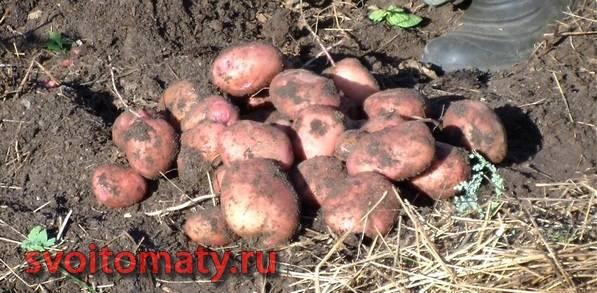 Урожай картошки с одного куста