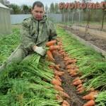 морковь крепыш