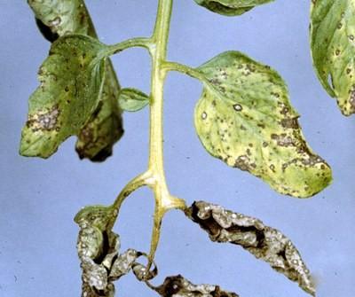 Серая пятнистость листьев томата