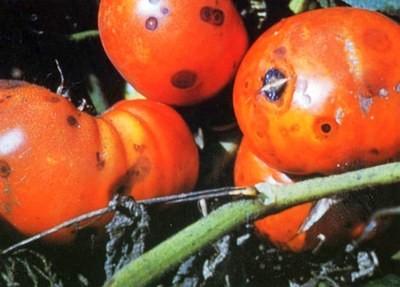 Антракноз томатов