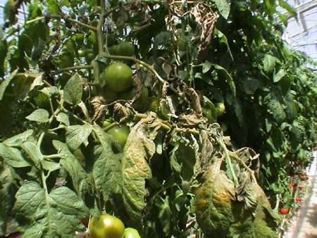 Ржавый клещ томатов