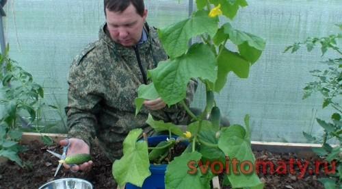 Урожай ранних огурцов