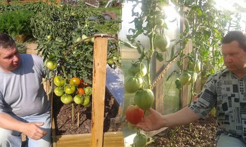 Итоги сезона томатов 2013