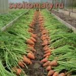 крепыш морковь