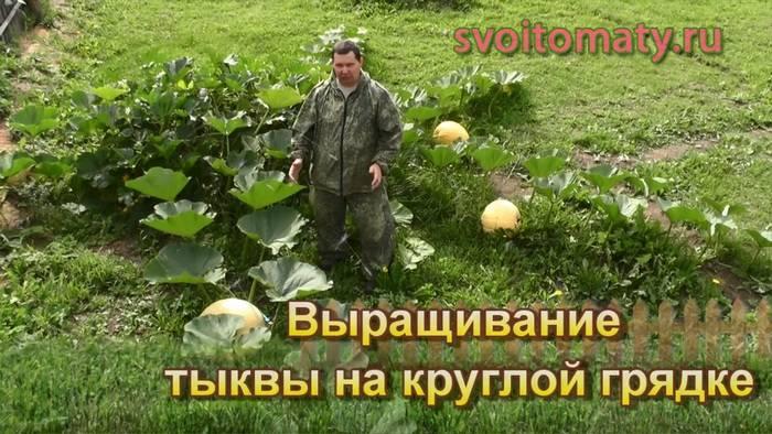 Выращивание тыквы на круглой грядке